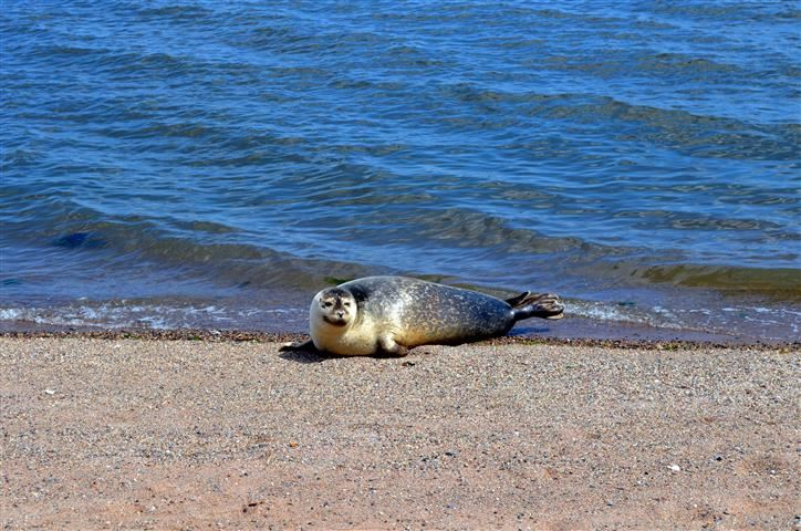 Harbor Seal Catches Some Rays on Dawson Ave. Beach 015 (Small)
